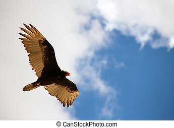 Turkey Vulture, Bryce Canyon, Utah, USA