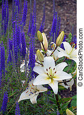 Lily and salvia flowers