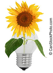 Shattered light bulb and sunflower, isolated on a white...