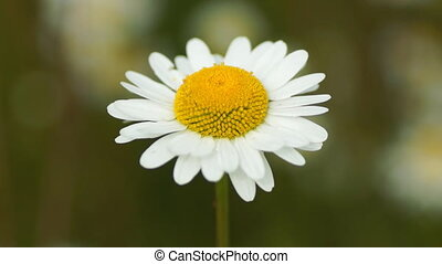 Chamomile - close-up view