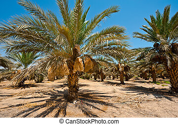 Date Palms - Plantation of Date Palms in the Jordan Valley,...