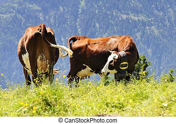 montañas, alpes, Beaufortain, francés, francia, vacas, col...