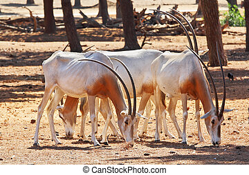 A herd of white wild goats scimitar horned oryx on a sunny...