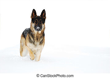 german shepherd dog, snow - german shepherd dog, standing in...