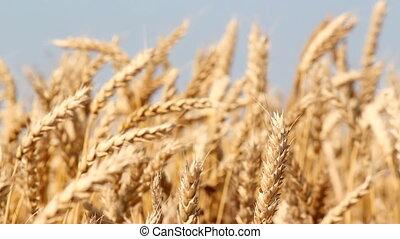 golden wheat field summer season