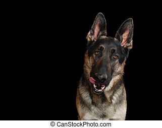 germa Shepherd dog, black - German Shepherd dog, sticking...