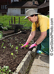 Senior planting vegetable seedlings