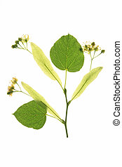 Flowers of the lime tree (Tilia) with leaves against a white...