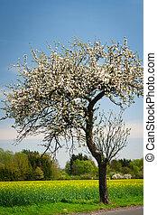 pomme, ensoleillé, floraison, arbre, Printemps, agréable,...