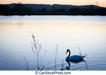 Swan swimming in a pond at sunset on a warm spring evening