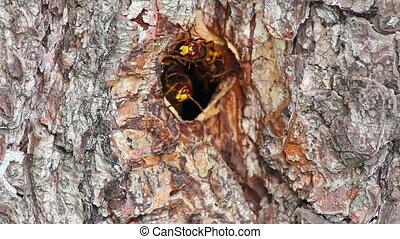 hornet's nest in tree hollow - timelapse
