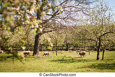 Idyllic rural scenery: sheep grazing in an orchard on a lovely spring day