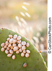 Closeup of a snail colony on an opuntia stem
