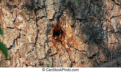 hornets nest in tree hollow - timelapse