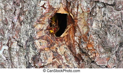 hornets nest in tree hollow