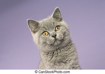 British short haired grey cat isolated on a purple...