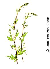 Wormwood Artemisia vulgaris, fresh sprouting in front of...