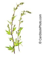 Ajenjo, (Artemisia, vulgaris)