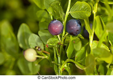 bilberry bush in the wood close up. Ripening period