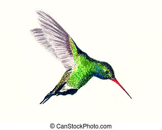 Broad Billed Hummingbird - Watercolor painting of a Broad...