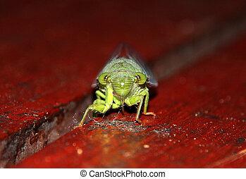 Cicada, Taman Negara, Malaysia