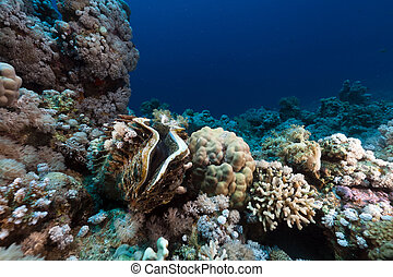 Giant clam and tropical reef in the Red Sea