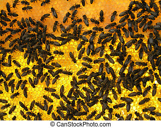 Bees on honeycombs - Worker bees work on a scope with...