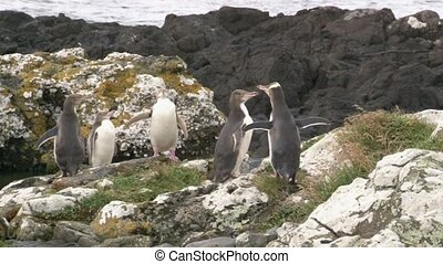 Yellow-eyed Penguins on a rocky shoreline