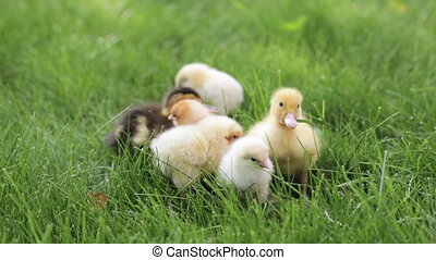 ducklings and chickens in the grass - two ducklings and few...