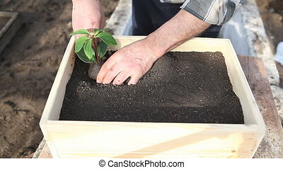 planting of three seedlings - old man planting three...