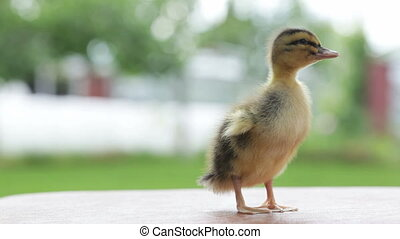 one little duckling standing and twitting