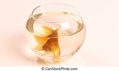 goldfish in fish bowl