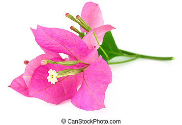 Bougainvillea over white background