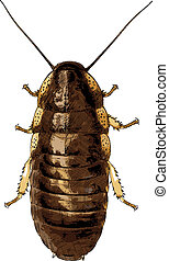 Cockroach isolated on white - vector illustration