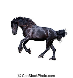 Black friesian stallion gallop isolated on white