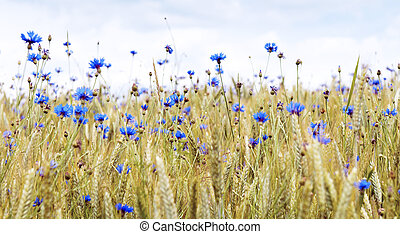 Cornflowers between the grain in the summer