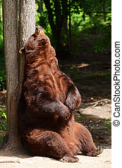 American Black Bear Rubbing His Back on a Tree