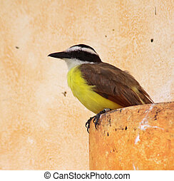 Urban Great Kiskadee - A Great Kiskadee (Pitangus...