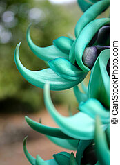 Unusual Jade Vine flower - close up of rare exotic vine