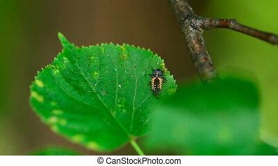 Ladybug larva. - Ladybird larva on the leaf of linden