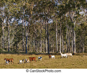 Australian Rural Scene Gum Trees and Cows - Australian Rural...