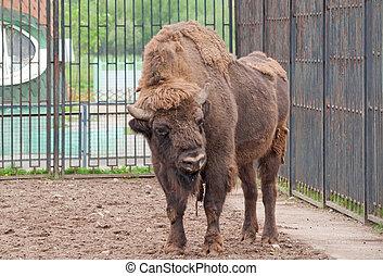 A wisent - An European wisent (Bison bonasus)