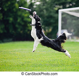 Frisbee dog catching - flying Frisbee dog catching disc in...