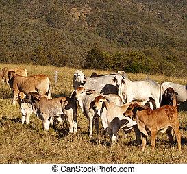 australiano, ganado,  brahman, carne de vaca, Novillas