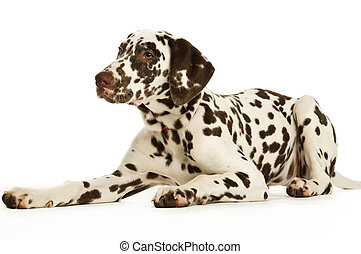 Dalmation Puppy - Dalmatian Puppy isolated on a white...
