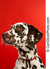 Dalmation Puppy with a red collar - Dalmatian Puppy isolated...