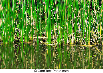 reed plant in the lake