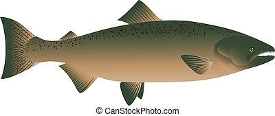 Salmon Fish  - vector illustration of Salmon Fish
