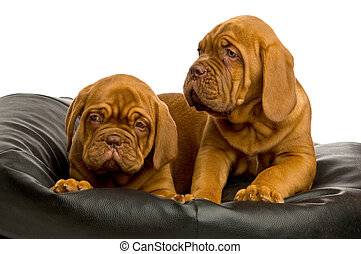 Dogue De Bordeaux puppies on a black bean bag