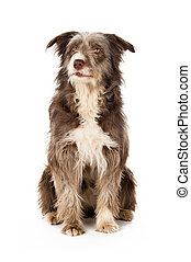 Bearded Border Collie sitting